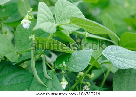 Green french beans plant in vegetables garden - stock photo
