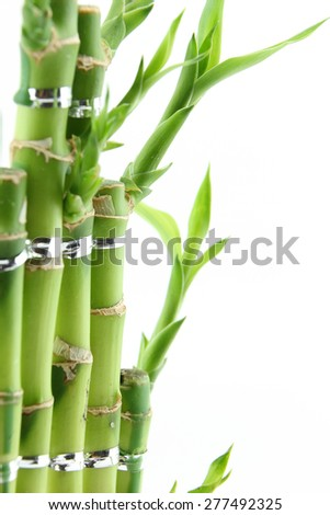 Green fresh bamboo isolated on white background