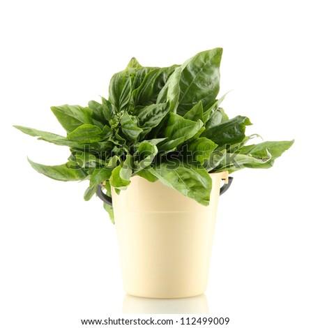 Green fresh basil in flowerpot, isolated on white - stock photo