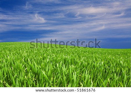 green fresh grain field with nice sky in back