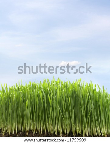 green fresh grass with water drops on blue sky background