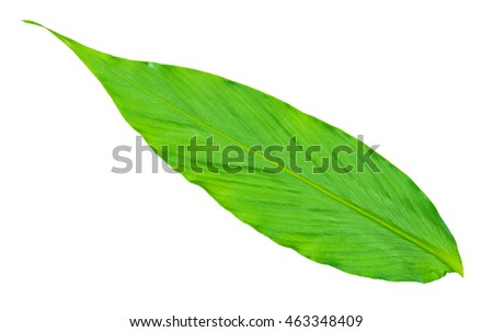 Green fresh long leaf on isolated white background