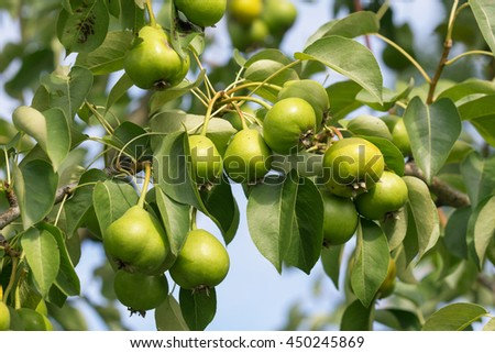 Green fresh pears growing on the tree in early July under the rays of evening sun - stock photo