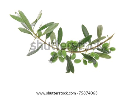 green fresh raw olives on branch over white - stock photo