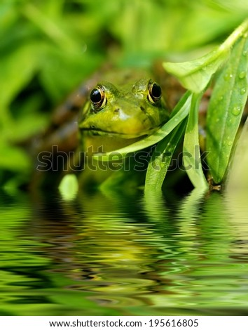 Green frog at a pond's edge - stock photo