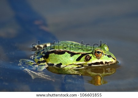 Green frog.Edible green frog (Rana esculenta), is a medium-thick-set tailless animals, up to 12 cm in length, but usually smaller.Edible green frog in the shallow water of lake. - stock photo