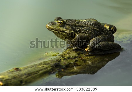 Green frog floating on the water levels with small waves on floating branch. Wildlife photography. - stock photo