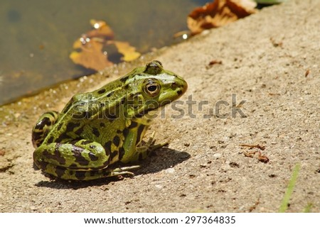 Green Frog - Frog Water - Rana esculenta - stock photo