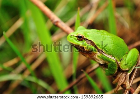 Green frog hiding in the leaves  - stock photo