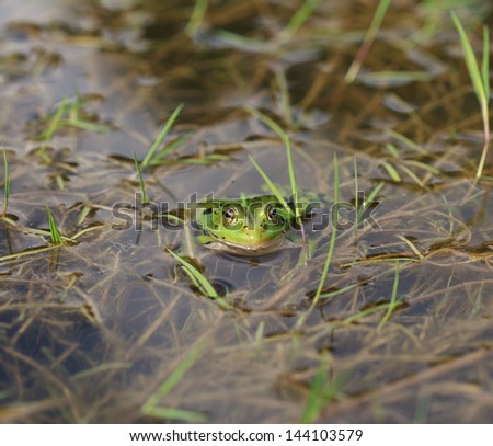 green frog in a pond, close-up