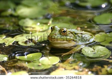 Green frog in the pond; Rana Esculenta - stock photo