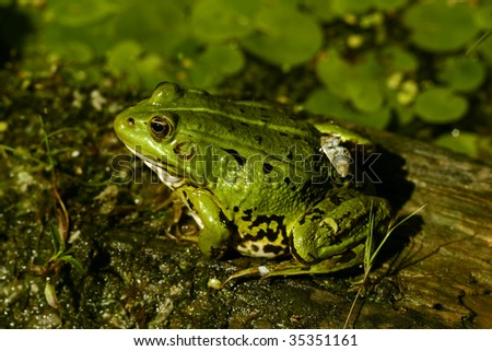 Green frog in the pond; Rana Esculenta #4
