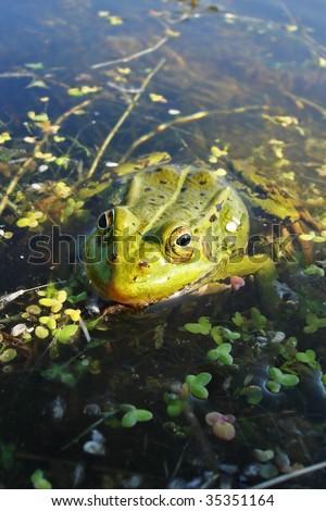 Green frog in the pond; Rana Esculenta #5 - stock photo