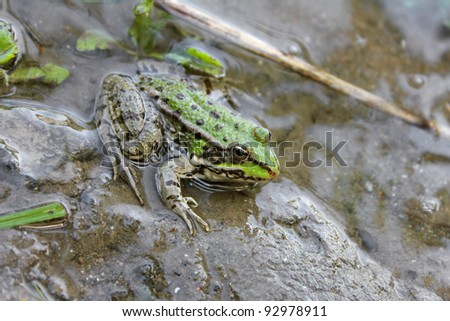 Green frog in the water - stock photo