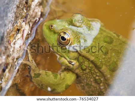 green frog in water - stock photo