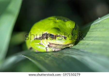 Green frog is hiddind in the leaves - stock photo