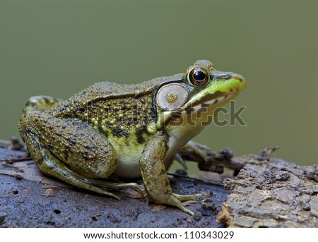 Green Frog, Lithobates clamitans, on log in a wetland / pond at Tyler State Park, Bucks County, Pennsylvania - stock photo