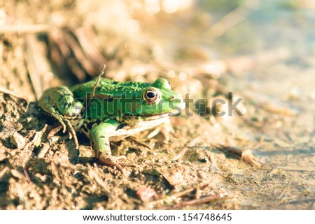 Green Frog on a shore in summer - stock photo