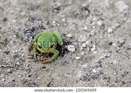 Green frog on the sandy ground - stock photo