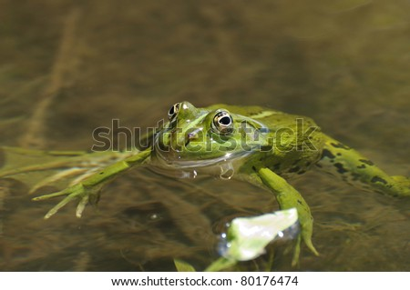 green frog on water surface