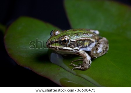 green frog Pelophylax lessonae sitting on a water lily pond frog european amphibian