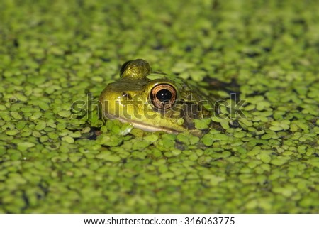 Green Frog (Rana clamitans) in a pond covered with duck weed - stock photo