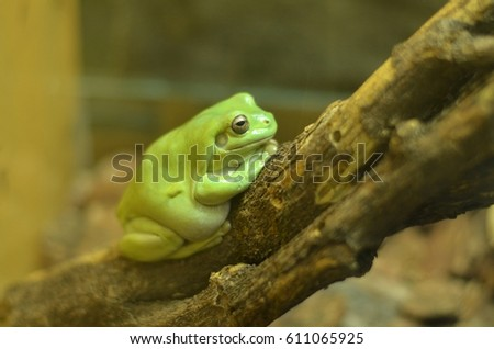 Green frog sits in a terrarium at the zoo