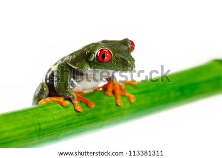 Green Frog with red eye. - stock photo