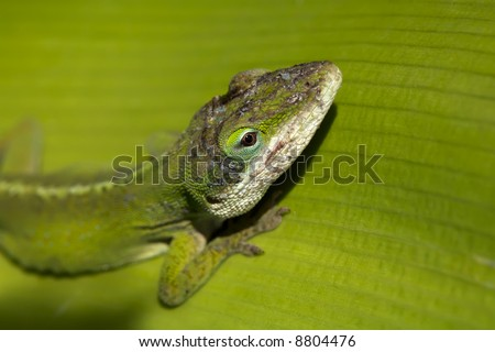 Green Gecko in the sunlight on a big green leaf, focus on its head - stock photo