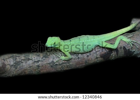 green gecko on a wood isolated - stock photo