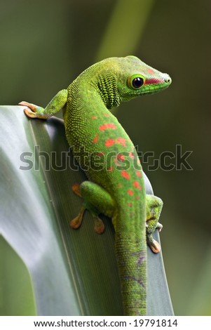 Green gecko on the leaf - stock photo