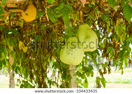 green gourd farm - stock photo