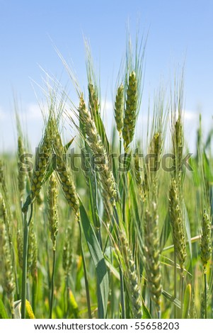 green grain ready for harvest growing in a farm field - stock photo