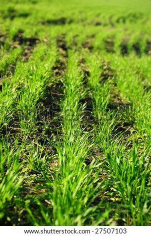 Green grain rows 2 - stock photo