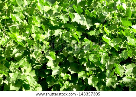Green grape leaves background - stock photo