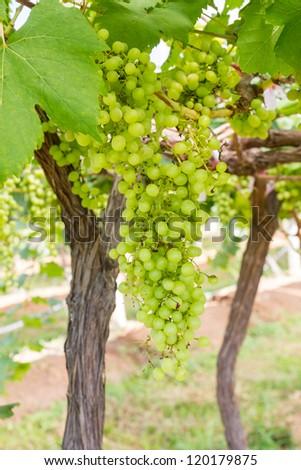 Green Grape on the vine  in vineyard before harvest - stock photo