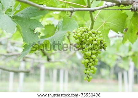 Green grape under the sunlight - stock photo