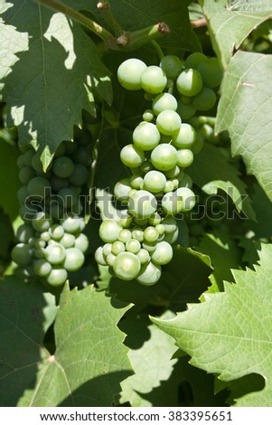 green grapes among leaves in sunlight closeup - stock photo