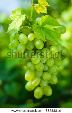Green grapes close-up from a vineyard - stock photo