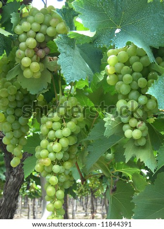 green grapes from a vinyard in Salta - stock photo