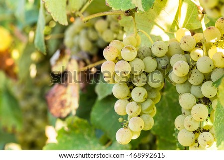 Green grapes growing on a vine in a vineyard in east Tennessee