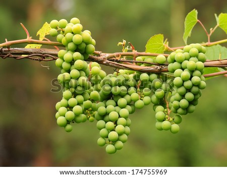 Green grapes growing on the grape vines - stock photo