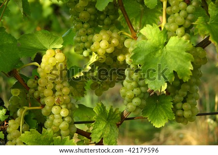 Green grapes in the vineyard - stock photo