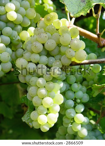 green grapes on the vine - stock photo