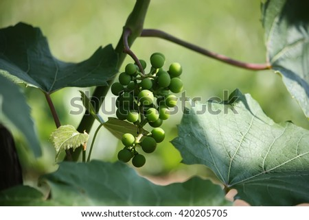 Green grapes on the vine in the vineyard - stock photo