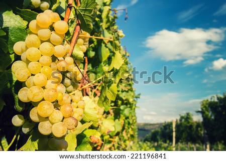 Green grapes on vine - stock photo