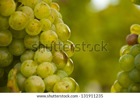 Green grapes on vine, horizontal - stock photo