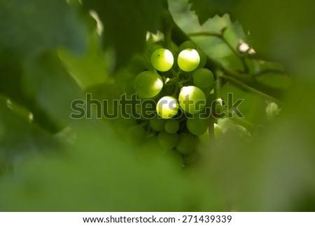 Green Grapes, Wine Vineyard  - stock photo