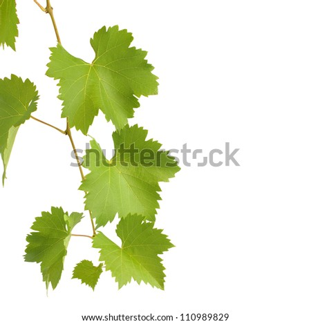 green grapevine leaves isolated on white - stock photo