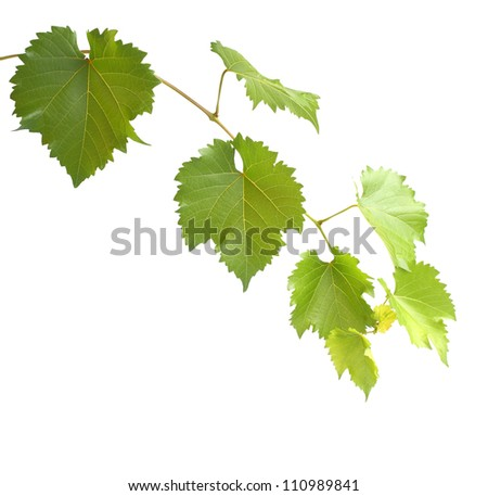 green grapevine twig isolated on white - stock photo